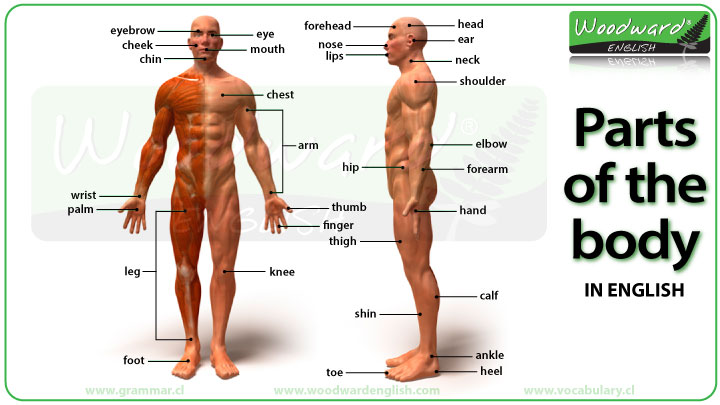 parts of the body photos and english vocabulary - vocabulario, Human Body