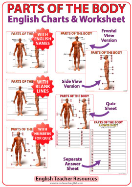 parts of the body in english - chart and worksheet